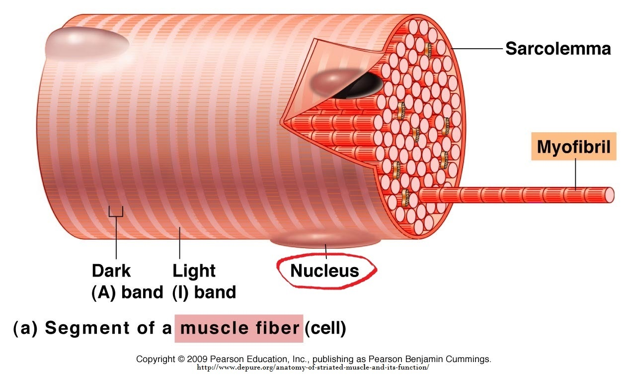 muscle cell and nucleus – Get Fit. Go Figure!