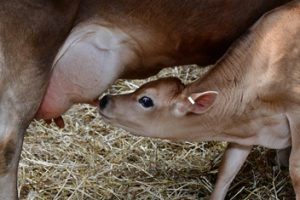 Colostrum: The Latest Super Supplement?